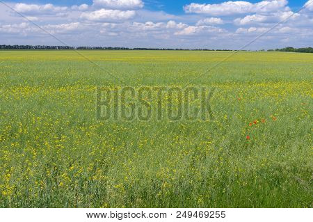 June Landscape With Agricultural Field With Flowering Rape Near Dnipro City,  Ukraine