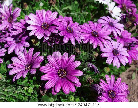 Close Up To Purple Daisy Flower (osteospermum )