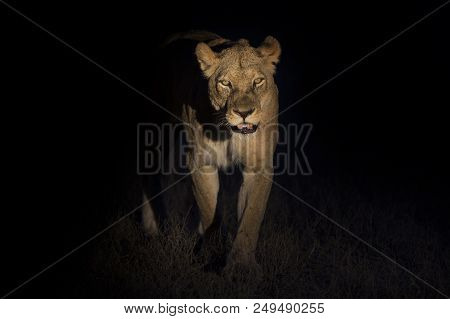 Silhouette Of An Adult Lion Male With Huge Mane Walking In The Darkness