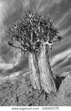 Landscape Of A Quiver Tree With Blue Sky And Thin Clouds In Dry The Desert Artistic Conversion