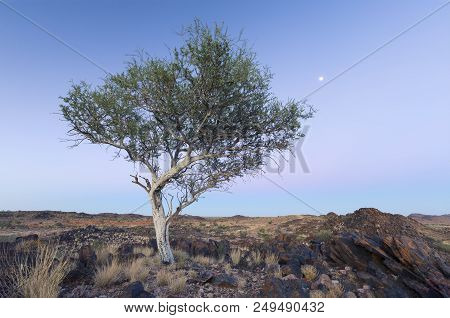 Landscape Of A Lone Tree With White Trunk And Moon In The Dry Desert