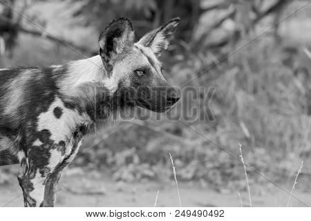 Portrait Of A Wild Dog While On A Hunt In An Artistic Conversion