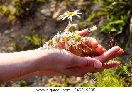 Wonderful Summer Flowers Are Embraced By The Tender Hands Of A Young Girl. Brightly Shining Sun Fall