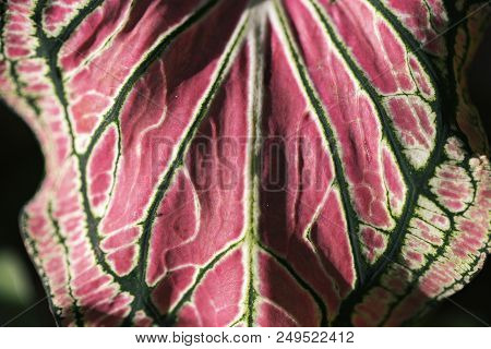 Tropical Greenery Closeup Photo. Tropical Tree Leaf With Pink And Green Pattern. Exotic Plant Leaf O