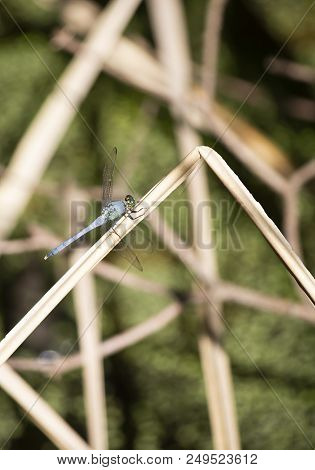 Blue Dasher Dragonfly Perched On A Dried Swamp Reed