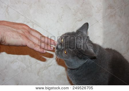 cat purebred gray, the man hand fingers, affectionate pet home thick love house poster