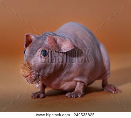 Skinny Guinean Pig Portrait In The Studio