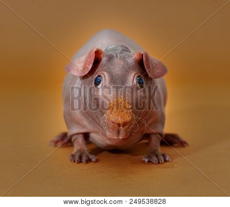 Skinny Guinean Pig Portrait In The Studio With Yellow Background