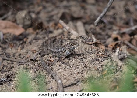 Southern California Fence Lizard Remaining Motionless In The Sand While Foraging For Food.