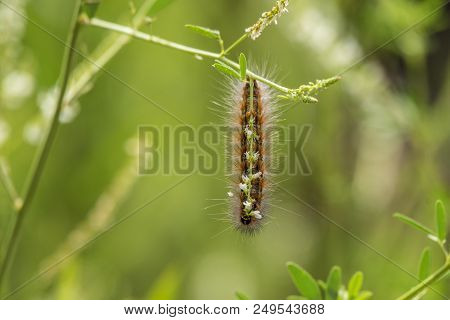Black And Furry Wooley Moth Caterpillar Clings To Branch While Chewing On Food During Summer Month.