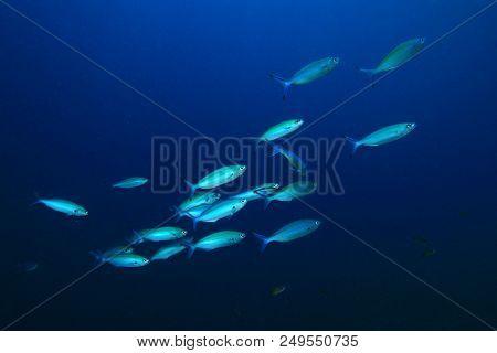 Sardines fish underwater