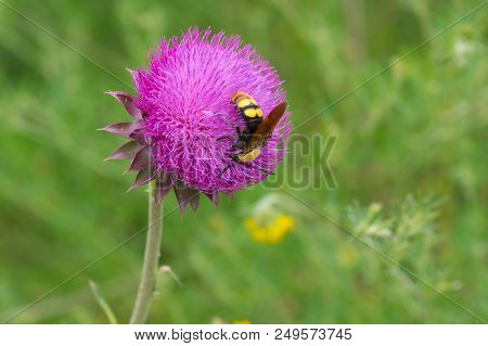 Big Wasp Sucking Nectar On A Thistle Flower At Summer Season