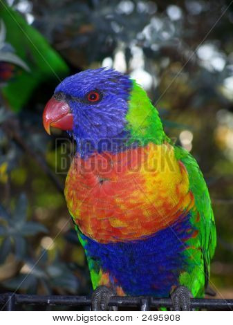 Rainbow Lorikeet 6