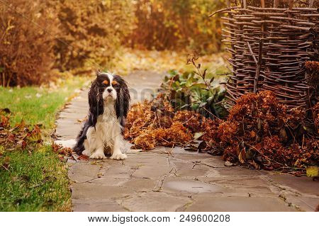Spaniel Dog Walking In November Garden. Late Autumn View With Rustic Fence And Stone Pathway