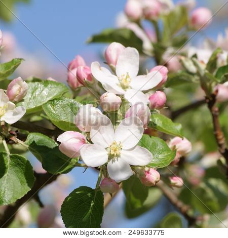 Apple Blossoms In Early Spring In Sweden.