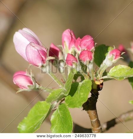 Budding Apple Blossoms In Early Spring In Sweden.