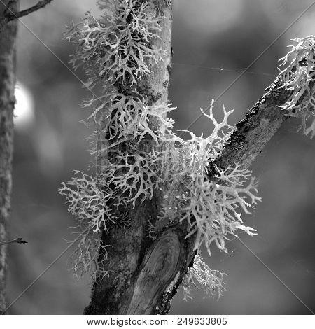 Reindeer Lichen Is Often Seen Growing On Trees In The Woods Of Sweden.