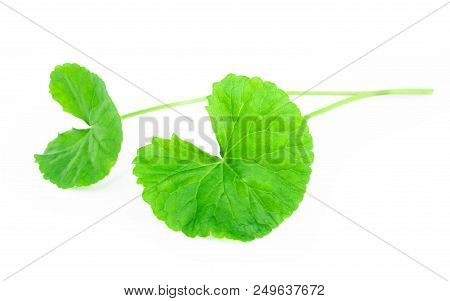 Closeup Leaf Of Gotu Kola, Asiatic Pennywort, Indian Pennywort On White Background With Water Drop,