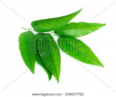Branch Of Tiliacora Triandra Leaf Isolated On White Background, Herb And Medical Concept