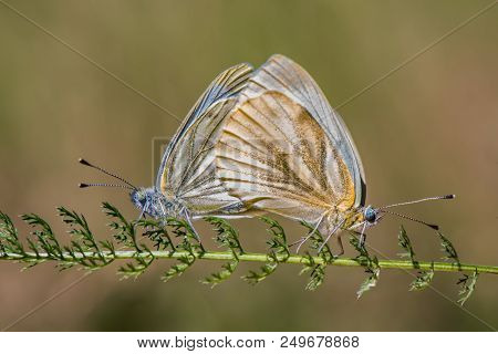 The Green-veined White - Pieris Napi - Butterfly Of The Family Pieridae - Copulating Couple