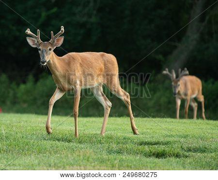 Two White-tailed Deer Bucks With Velvet On Antlers In Summer