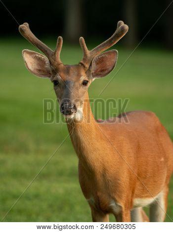 White-tailed Deer Buck With Velvet On Antlers