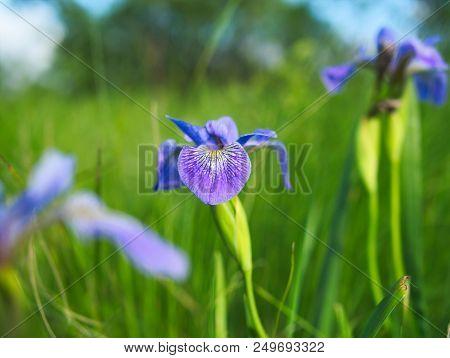 Indaceae Indeae Iris Versicolor Or Blue Flag, Harlequin Blueflag, Larger Blue Flag, Northern Blue Fl