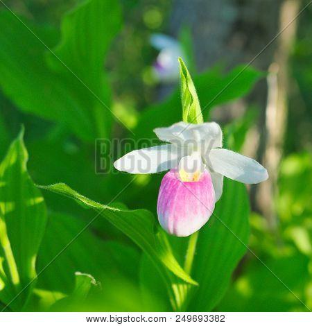 Showy Lady's-slipper - Cypripedium Reginae - Minnesota State Flower