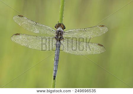 Beautiful Nature Scene With Dragonfly Keeled Skimmer (orthetrum Coerulescens) . Macro Shot Of Dragon