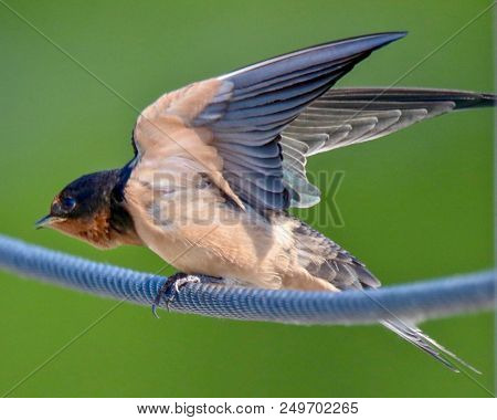 Close-up, Barn Swallow, Palau, Isolated, Sitting On A Blue Rope With Green Background With Wings Up