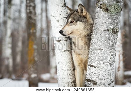Grey Wolf (canis Lupus) Between Trees Looking Left - Captive Animal