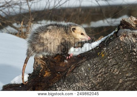 Opossum (didelphimorphia) Side Eye On Log - Captive Animal