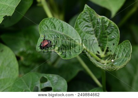 In This Image We See The Damage That Invasive Species, Such As This Japanese Beetle Can Cause.