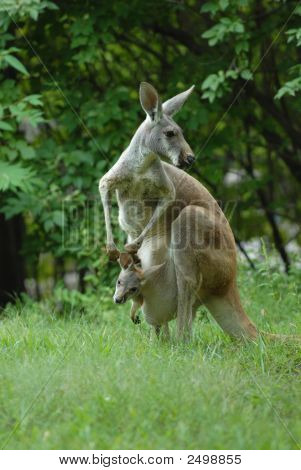 Kangaroo And Joey