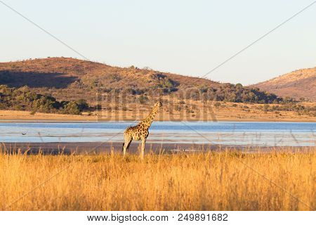 Giraffe Close Up From Pilanesberg National Park, South Africa. Safari And Wildlife. Cape Giraffe Or