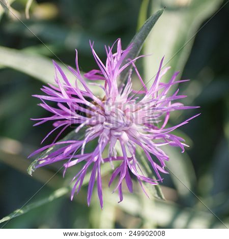 Pink Cornflower In Full Bloom In Summer In Sweden