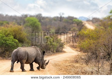 Adult male white rhinoceros, Ceratotherium simum, on a dirt road in Kruger National Park, South Africa.