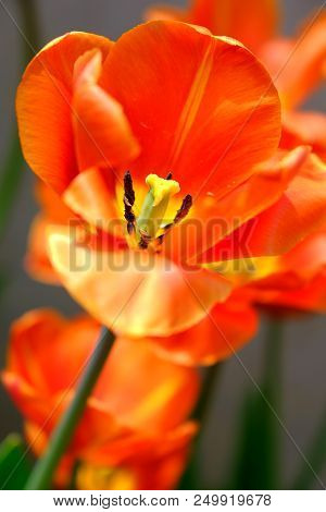 Close Up Of A Single Tulip Flower