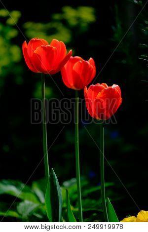 Three Red Tulip Flowers In A Garden Against A Dark Background