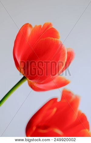 Close Up Of Red Tulip Flower Head Against A Light Background