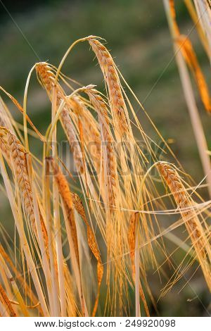Close Up Of Ears Of Wheat In Summer Sun Close To Harvesting