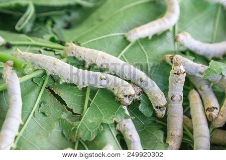 Silk Worm On Green Mulberry Leaf. Close Up