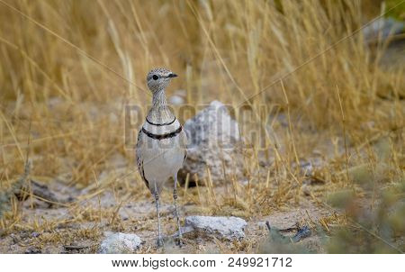 Delicate Bird Double Banded Courser On Ground Surrounded By Golden Grass In Namibia