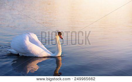 Beautiful Romance Peaceful Landscape; Romance White Swan