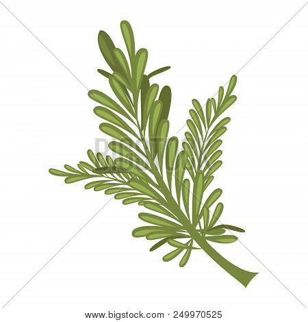 Vector Rosemary Illustration Isolated In Cartoon Style. Herbs And Species Series