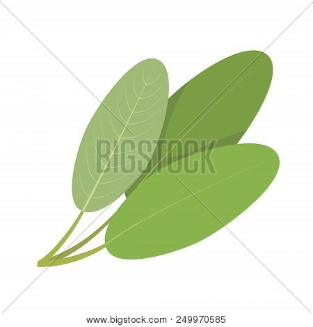 Vector Sage Illustration Isolated In Cartoon Style. Herbs And Species Series