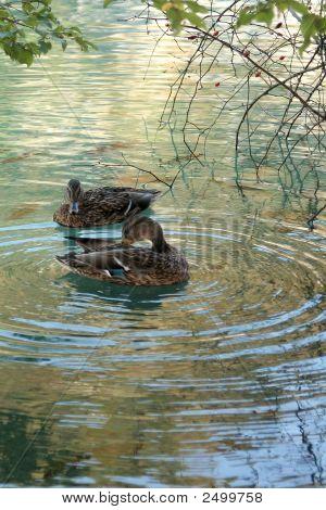 Two Ducks