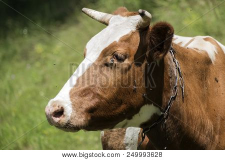 Cow Head Profile. Flies Fly Around And Creep Into Her Eyes (bos Taurus Taurus)