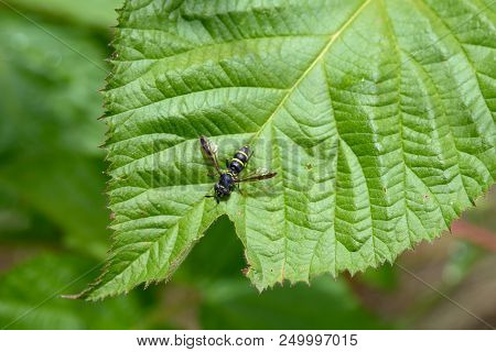 Insect Wrecker (synanthedon Tipuliformis) On A Fruit Bush