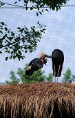 two black crowned crane in the zoo, poster